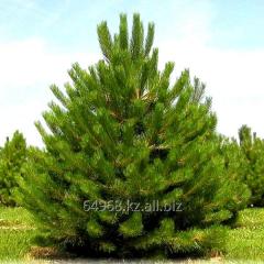 Pine black Pinus Nigra nigra, h of cm 30-40