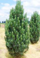 Сосна веймутова Pinus strobus, h см 30-50
