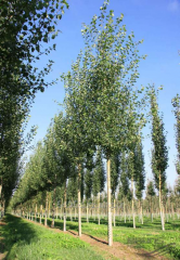 Poplar of Populus Tremula, h of cm 40-60