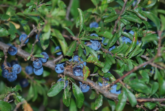 Sloe of Prunus Spinosa, h of cm 30-50