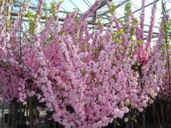Almonds Prunus Triloba, h of cm 100-120