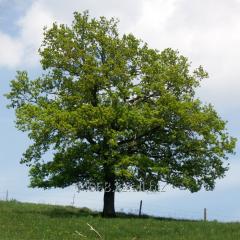 Oak of Quercus Robur, h of cm 45-60