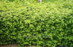 Currant Ribes Alpinum Schmidt, h of cm 40-60