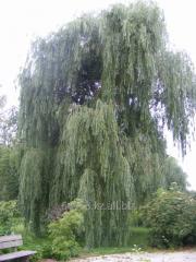 Willow of Salix Alba, h of cm 100-120