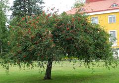 Рябина Sorbus Aucuparia, h см 90-120