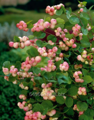 Symphoricarpos d snowberry. Mother of Pearl, h of