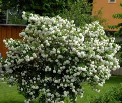 Guelder-rose buldonezh Viburnum Opulus Roseum, h