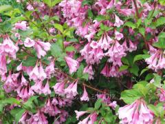 Вейгела Weigela praecox Bouquet Rose, h см 60-90