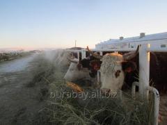 Telki and bull-calves of Auliyekolsky breed of