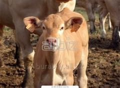 Bull-calves and cow calves of breed Auliyekolskaya