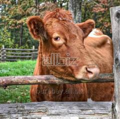 Bull-calves, cow calves of breed Auliyekolskaya