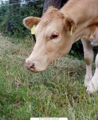 Cow calves and bull-calves of breed Auliyekolskaya