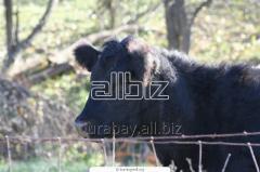 Cow calves, bull-calves of breed Auliyekolskaya