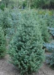 Fir-tree tyan-shansky, Saplings of coniferous