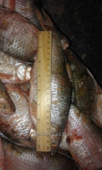 Fish fresh-frozen bream
