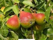 Pear saplings