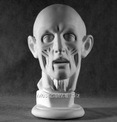 Anatomic head