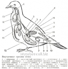 Manual Internal structure of a pigeon