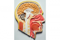 Manual Sagittalny section of the head