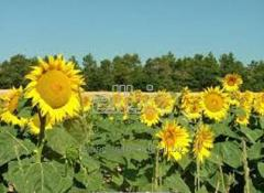 Sunflower olive for Expor