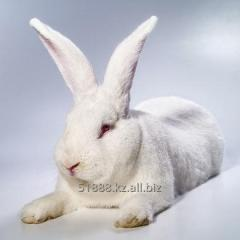 "Rabbits of breed ""the WHITE GIANT"