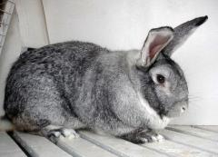"Rabbits of breed ""the SOVIET CHINCHILLA"