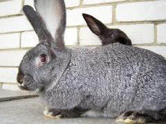 "Rabbits of breed ""the SILVERY GIANT"