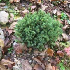 Fir-tree of Picea abies Blue Plane
