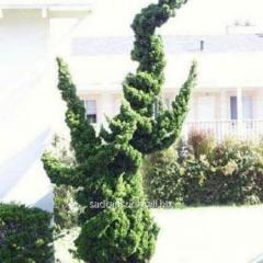 Juniper of juniperus chinensis Kaizuka