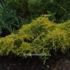 Можжевельник Juniperus x pfitzeriana Golden Saucer