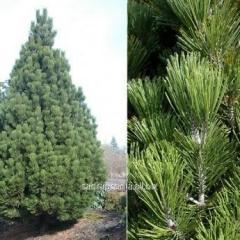 Pine of Pinus leucodermis Compact Gem