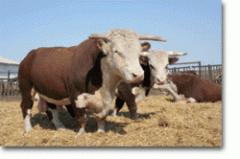 Kazakh white-headed sale in Kazakhstan, Breeding