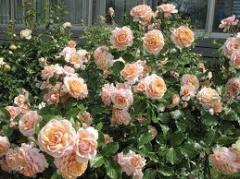 Розы кустарниковые