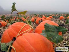 """Pumpkin """"Pumpkin de Provence musca"""