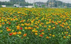 Семена сафлора