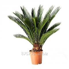 Цветы Цикас revoluta, диаметр горшка 17 см, высота