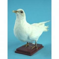 Pigeon wild