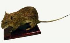 Effigy Gopher (rat)