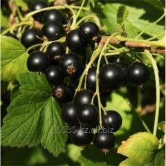 "Fresh blackcurrant FH ""VITAMIN"