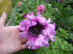 Саженцы петунии и других цветов