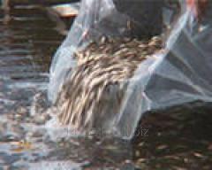Материал рыбопосадочный
