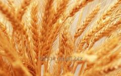 Пшеница Казахстан