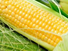 Кукуруза ГОСТ 13634-90