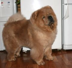 Chow-chow from an excellent family tree