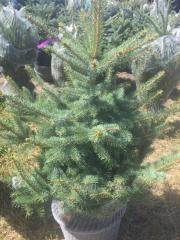 "Blue spruce (gray) ""Glauk"""
