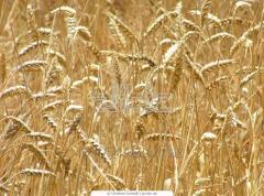 Grain. Export from Kazakhstan