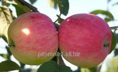 Cuttings of apple