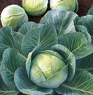 Seeds of cabbage of white late Ammon of F1 (Ammon)