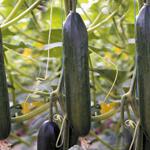 Cucumber seeds Kavkas F1 (Kafkas)