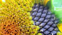 Technical sunflower